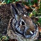 Cotton Tail Rabbit by Dave & Trena Puckett