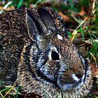 Cotton Tail Rabbit by Dave & Trena Puckett