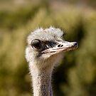 Ostrich by msgigi