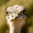 Ostrich II by msgigi