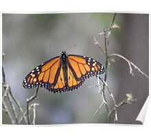 Monarch Wings Exposed Poster