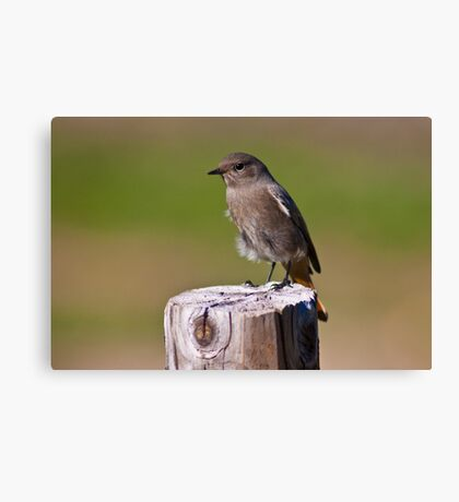 Female black redstart (Phoenicurus ochruros) Canvas Print