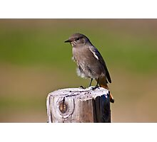 Female black redstart (Phoenicurus ochruros) Photographic Print