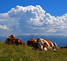 Cows on a Mountain top. by Lee d'Entremont