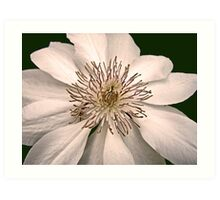 Clematis Bloom Art Print