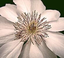 Clematis Bloom by Usha Ganesh
