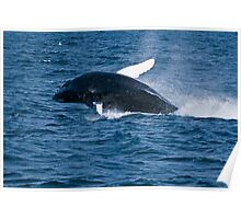 Humpback Whale - Newfoundland, Canada Poster