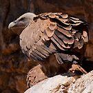 Griffon Vulture (Gyps fulvus) by Gabor Pozsgai