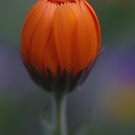orange perfection by Clare Colins
