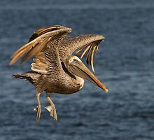 Brown Pelican taking Off by noffi