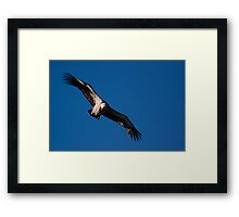 Griffon Vulture (Gyps fulvus) in flight Framed Print