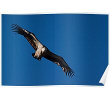 Griffon Vulture (Gyps fulvus) in flight Poster