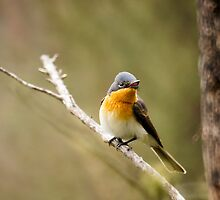 Female Satin Flycatcher, Yarlington, Tasmania by Ron Co
