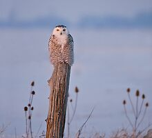 Snowy Owl on a Post - Arthur Ontario, Canada by Raymond J Barlow
