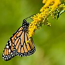 Monarch Butterfly - 36 by Michael Cummings