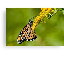 Monarch Butterfly - 36 Canvas Print
