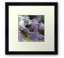 Bee on Lavender - Dunrobin Ontario Framed Print