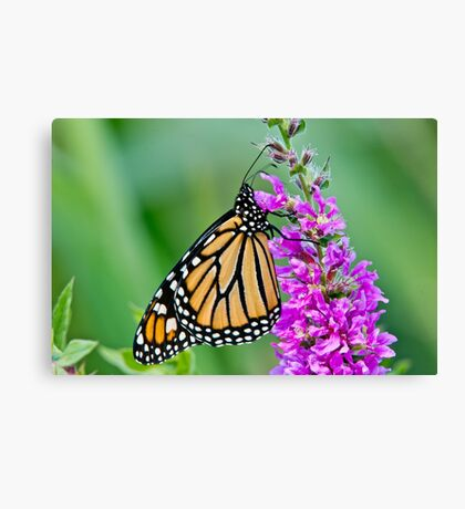 Monarch Butterfly - 37 Canvas Print