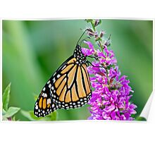 Monarch Butterfly - 37 Poster