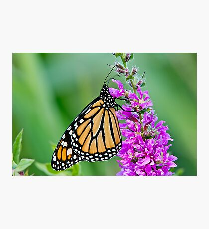 Monarch Butterfly - 37 Photographic Print