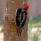 Red Breasted Sapsucker by Patty Boyte