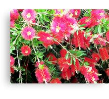 Callistemon 2  Canvas Print