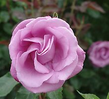 Rose in Mauve by Gregory John O'Flaherty