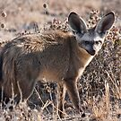 Bat-eared fox side view by Owed to Nature