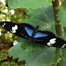 Doris Longwing, Blue variant by ienemien