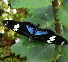 Doris Longwing, Blue variant by ienemien