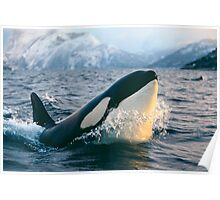 Orca - Tysfjord, Norway Poster