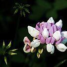 Purple Crown Vetch - Securigera varia by jules572