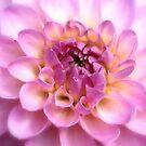 Pink Dahlia by DutchLumix