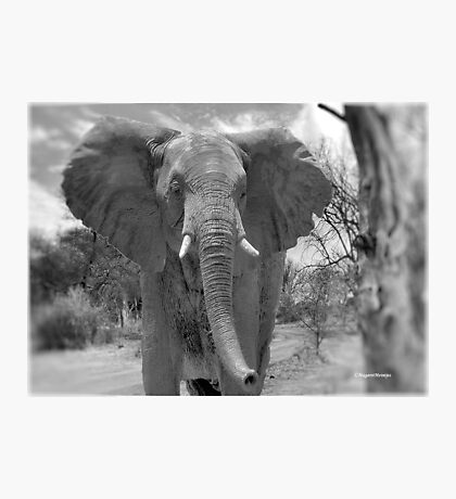 UP CLOSE AND PERSONAL WITH ELEPHANTS - SERIES  3 Photographic Print