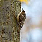 Treecreeper by Robert Abraham