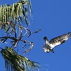 Osprey Out Of The Tree Into The Blue by DARRIN ALDRIDGE