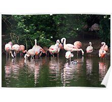 Flamingo reflections Poster