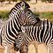 Zebras (Afrika / Africa)