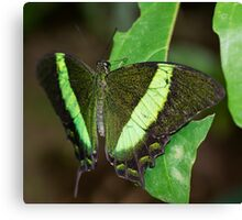 Green-banded Swallowtail Butterfly Canvas Print