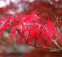 Japanese Maple by Eileen McVey