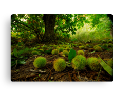 Chestnuts all over the path Canvas Print