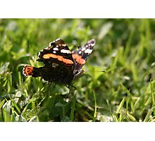 a red admiral Photographic Print