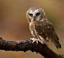 Saw-whet Owl 2 - Ontario, Canada by Raymond J Barlow