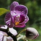 Miniature Orchid & new bud by ronsphotos
