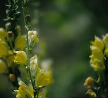 Yellow Toadflax by OneRudeDawg