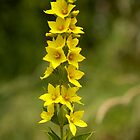 Dotted Yellow Loostrife, Muckross Head, Donegal by George Row