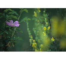 Nootka Rose And Yellow Toadflax Photographic Print