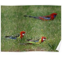 Rosella Parrots in the grass. Poster