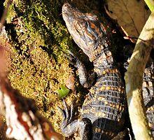 Baby Gator by Jeff Ore