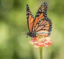 Monarch On Zinnia 3-2015 by Thomas Young